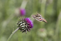 Hummingbird Moth - Lincoln National Forest