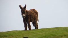 Wooly donkey