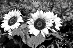 Sunflowers in Black and White (Kaye Menner) Tags: flowers blackandwhite nature floral monochrome beautiful leaves contrast garden botanical happy photography petals flora seeds sunflowers stamen brightflowers sunflowerseeds whitepetals happyflowers largeflowers blackandwhiteflowers sunflowergarden blackandwhitefloral texturedpetals natureinmonochrome sunflowerstamen happysunflowers blackandwhitesunflowers kayemennerphotography kayemennerfloral kayemenner sunflowersinblackandwhite