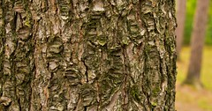 Rough Stuff (Light Collector) Tags: ontario tree texture pine bark rough midhurst simcoecountymuseum