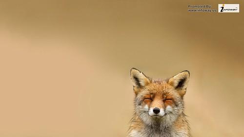 wild fox no zoo no pet