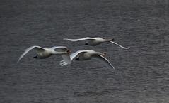 Swans in Flight (deu49097) Tags: swan specanimal