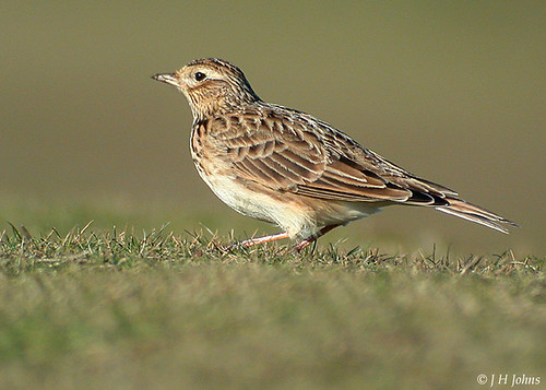 "Skylark (J H Johns) • <a style=""font-size:0.8em;"" href=""https://www.flickr.com/photos/30837261@N07/10723256473/"" target=""_blank"">View on Flickr</a>"