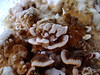 turkey tails (Wendell Smith) Tags: turkeytail trametesversicolor mushroomcultivation coriolusversicolor yunzhi polyporusversicolor