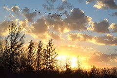 The Geese are Back (NaturalLight) Tags: sunset geese kansas wichita canadageese chisholmcreekpark
