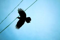 aps_107 (Alfonso Parejo Serna) Tags: blue sky bird japan azul contraluz dark libertad negro cielo alas silueta da cuervo pjaro nwn plumas japn volar vision:mountain=0532 vision:outdoor=0967 vision:sky=0779