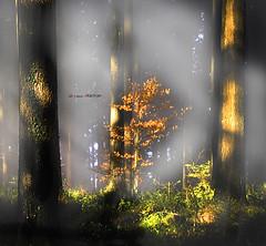 Un haya dorada entre abetos gigantes (Jabi Artaraz) Tags: mist sol nature árboles sony natura bosque zb bizkaia niebla haya bruma basoa pagoa lainoa abetos eguzkia euskoflickr otxandio jartaraz alfa350 mybilbaobizkaia gifgantes