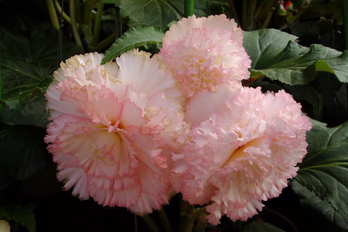 Pink ruffled edge Begonia in Bathurst New South Wales.