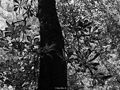 Nature in B & W (Caty V. mazarias antoranz) Tags: trees naturaleza nature leaves vida natureinbw naturalezaenbw