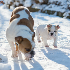 2 English Bulldogs in the Snow (ElvisM) Tags: snow english nikon bulldog 80200mm d600 28d