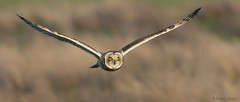 Short-eared Owl (KHR Images) Tags: wild bird nature flying inflight nikon wildlife hunting owl cambridgeshire birdofprey seo 300mmf4 nnr shortearedowl asioflammeus holmefen nationalnaturereserve tc17eii d7100 greatfen kevinrobson bcnwildlifetrust khrimages