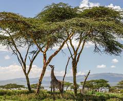 IMG_9963 Kenya (Ninara) Tags: nairobi safari giraffe gamepark riftvalley naivasha walkingsafari masaigiraffe crescentisland naivashalake