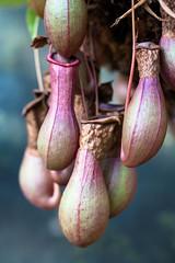 Pitchers (derekbruff) Tags: 50mm meijergardens greenhouse carnivorous pitchers pitcherplant greatpitcherplant