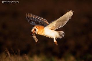 Barn Owl, Tyto alba with prey.