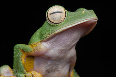 Rhacophorus nigropalmatus IMG_5618 copy (Kurt (orionmystery.blogspot.com)) Tags: amphibian frog treefrog herp herps herpetology amphibia rhacophoridae rhacophorus rhacophorusnigropalmatus wallacesflyingfrog rhacophorid