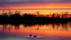 COULEURS DU SOIR - Etangs de Saclay - 19/1/14 (jmsatto) Tags: couleurs cygnes étang essonne saclay soleilcouchant