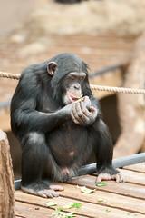 2014-01-24-12h38m03.272P8014 (A.J. Haverkamp) Tags: zoo arnhem thenetherlands chimpanzee burgerszoo dierentuin chimpansee canonef70200mmf28lisusmlens httpwwwburgerszoonl