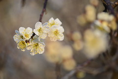 plum blossoms (amaikfully2003) Tags: japaneseapricot
