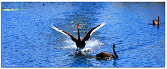 Get out of the way he's got bread (Brett Huch Photography) Tags: lake nature water creek swan australia swans qld queensland aussie blackswan