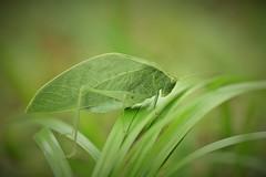 Sauterelle verte (rj@ubertsb) Tags: macro nature nikon 7100 martinique sauterelle rjubertsb