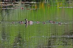A new begining (littlebiddle) Tags: nature water washington pond babies wildlife ducks ducklings waterfowl yakima woodduck canon7d sportmanstatepark