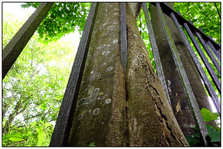 The tree that grew up around fences ... [Explore] #7 6/06/2014