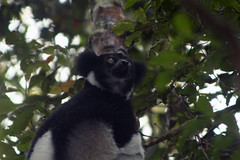 suborder: Strepsirrhini. Indri - Analamazaotra National Park, Madagascar
