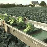 Récolte du Brocoli