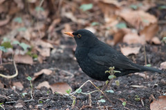 Male Common Blackbird - Amelisweerd, Bunnik, The Netherlands