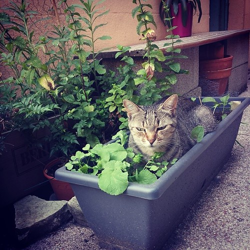 """#kanaTheCat in the #herb • <a style=""""font-size:0.8em;"""" href=""""http://www.flickr.com/photos/63093989@N06/14390810708/"""" target=""""_blank"""">View on Flickr</a>"""