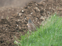 Grey Partridge (TG23-Birding in a Box) Tags: partridge partridges greypartridge gamebirds