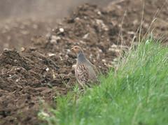 Grey Partridge (TG23-Birding in a Box) Tags: partridge partridges greypartridge gamebirds