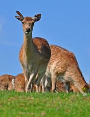 Hide and sika (Wildlife Online) Tags: mammal deer sika westmidlandssafaripark cervus cervusnippon sikadeer formosansikadeer cervid cervusnippontaioanus marcbaldwin wildlifeonline taiwanesesikadeer