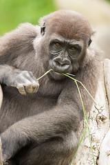 2014-06-19-10h26m43.272P5100 (A.J. Haverkamp) Tags: zoo rotterdam blijdorp gorilla dierentuin diergaardeblijdorp westelijkelaaglandgorilla canonef14xiiextender httpwwwdiergaardeblijdorpnl pobrotterdamthenetherlands dob05122010 ayba canonef500mmf4lisiiusmlens