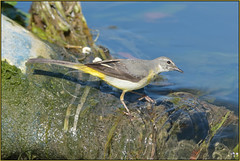 Grey Wagtail (image 4 of 5) (Full Moon Images) Tags: cambridge bird nature river grey wildlife cam cambridgeshire weir wagtail