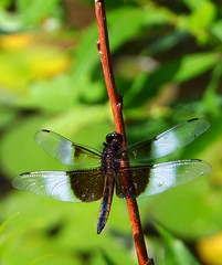 Widow Skimmer (Art and Nature-Mike Sherman) Tags: summer male fauna insect photo dragonfly july widowskimmer odonata skimmers libellulaluctuosa familylibellulidae deerfieldpark isabellacountyparksandrecreation