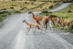 Vicunas (J.K.E.B Elena B) Tags: sky patagonia mountains southamerica nature nationalpark nikon wildlife natureza roadtrip torresdelpaine montaas sudamerica vicunas chlile