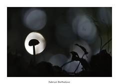 Spot sur champi (bertholino fabrice) Tags: champignon nature fabricebertholino nikond600 biodiversit environnement sigma105macrooshsm bokeh contrejour sousbois