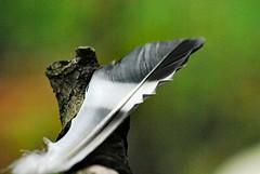 Feder am Rande des Astes (FrauN.ausD.) Tags: macromonday edge feder ast branch grau grey feather