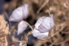Coquelicots-14 (Thierry Nacht) Tags: coquelicots nature supercolor velvet56 helios44