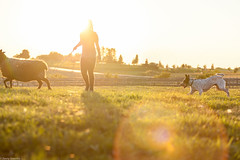 Farm chores are tough in the fall. (Explore! Fish! Play!) Tags: dog animal pet herding sheep cattledog blueheeler sunset newyork fingerlakes canandaigua