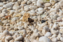 Sunbathing Butterfly (dalejckelly) Tags: spain alicante moraira benidorm europe travel photography valencia spanish calp calpe beach butterfly insect pebbles pebble outdoor canon 700d