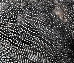 IMG_3034 (juleshelene) Tags: guineafowl feathers