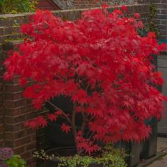 Magnificent Acer (Geoffrey Radcliffe /radcliffegeoffrey@yahoo.co.uk) Tags: geoffrey radcliffe hambledon hampshire england uk lightroom5 nikon d700 vibrant colour