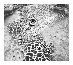 Crocodile Rock (caralan393) Tags: bw crocodile rock sandstone scales lizard skin