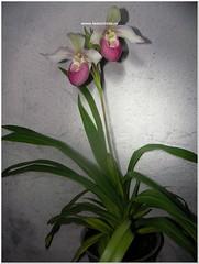 Phragmipedium Cardinale (Sedenii × schlimii) (fedorchids) Tags: phragmipediumcardinalesedenii×schlimii phragmipediumcardinale phragmipediumsedenii×schlimii sedenii×schlimii phragmipedium cardinale sedenii schlimii