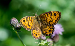 DSC8938  Wall Brown.. (jefflack Wildlife&Nature) Tags: wallbrown butterflies butterfly lepidoptera insects insect wildlife glades hedgerows countryside nature macro coth5