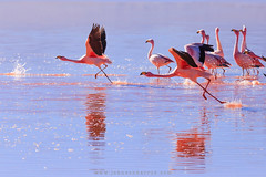 James's flamingo (Johnson Barros) Tags: ferias travel trip vacations viagem james flamingo bird andes wather flight