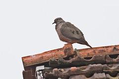_W4A5159 Eared Dove (Zenaida auriculata) (ajmatthehiddenhouse) Tags: paraguay bird 2015 eareddove zenaida auriculata zenaidaauriculata