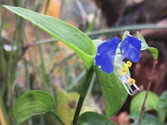 #Wild #flowers #Asiatic #Dayflower #Mouse #Ears #Dew #Herb - #Commelina #communis #plant #green #blue #pedal #pedals #two #ground #growing #small #little #very #tiny #nature #wildlife #Connecticut #Mike #Liebler #Mike's #USA #vernon #Rockville #pretty (mikeliebler222) Tags: leafs ontopof dewdrops waterdroplets dewherb intheground plantlife bud brightblue bright brilliantly asiaticdayflower brilliant beautiful wild flowers asiatic dayflower mouse ears dew herb commelina communis plant green blue pedal pedals two ground growing small little very tiny nature wildlife connecticut mike liebler usa vernon rockville pretty